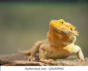 Pogona Female or more commonly known as bearded dragon