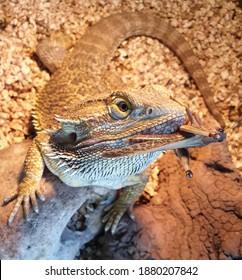 pogona with grasshopper in its mouth, reptile Pogona vitticeps