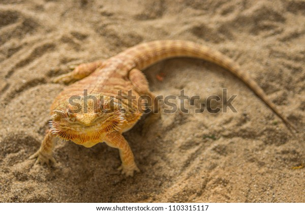 pogona on sand