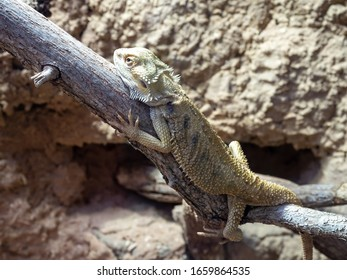 Pogona vitticeps, the central bearded dragon, is a species of agamid lizard occurring in a wide range of arid to semiarid regions of Australia.