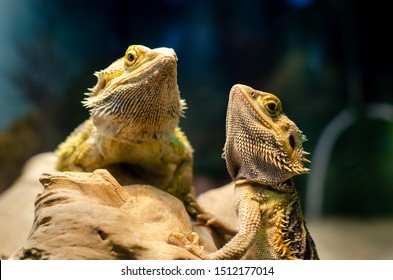 Pogona vitticeps, the central (or inland) bearded dragon, is a species of agamid lizard occurring in a wide range of arid to semiarid regions of Australia.