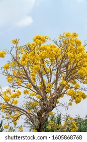 Pohon Bunga Tabebuya Kuning or Blooming Yellow Tabebuia Tree with blue sky and space for background text. The golden trumpet tree is originated in the country of Brazil but favourite in Indonesia.