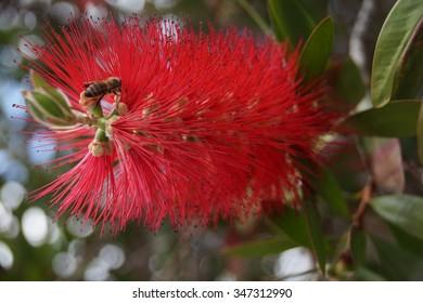 Pohutukawa flower New Zealand Christmas tree in bloom