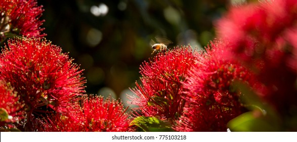 Pohutukawa Flowers with Honey Bees in New Zealand