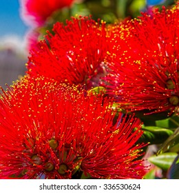 pohutukawa - New Zealand Christmas tree with red flowers. Soft selective focus and shallow depth of field