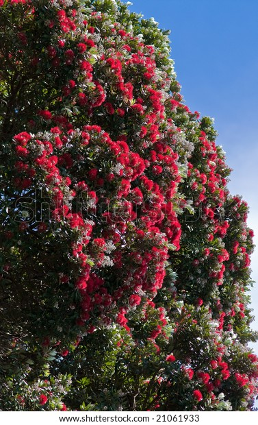 New Zealand Christmas Tree.Pohutukawa New Zealand Christmas Tree Stock Photo Edit Now