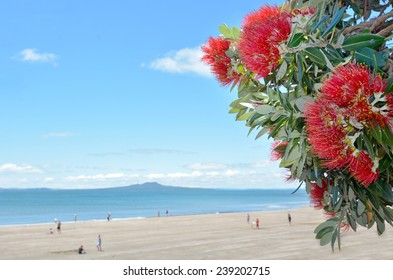 Pohutukawa red flowers blossom in the month of December in the North shore of Auckland, New Zealand. Christmas background. No people. Copy space