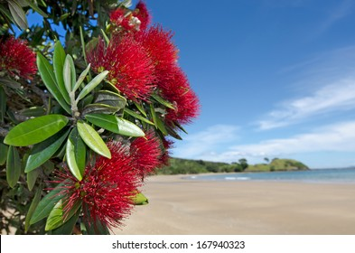 Pohutukawa red flowers blossom on the month of December in doubtless bay New Zealand.