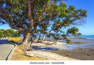 Pohutukawa Tree Omana Beach Auckland New Zealand