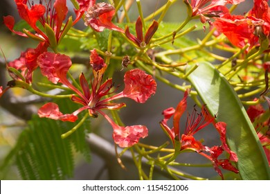 Poinciana flowers on tree on the Atherton Tablelands in Tropical North Queensland, Australia