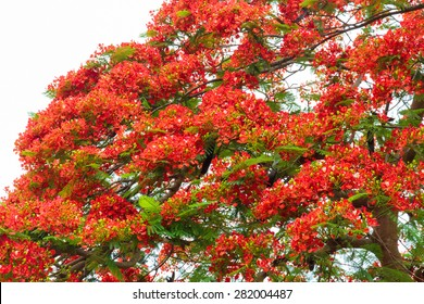 Poinciana phoenix or phoenix, is a flowering plant species live in the tropics or subtropics. Common name in English is: Flamboyant, Royal Poinciana tree and Mohur.