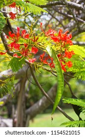 Poinciana tree on the Atherton Tablelands in Tropical North Queensland, Australia