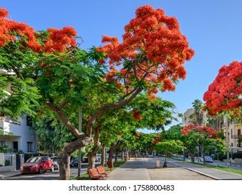 Poinciana  trees blooming at Boulevard Rothschild in Tel Aviv.