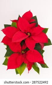 Imágenes Fotos De Stock Y Vectores Sobre Nochebuenas Shutterstock