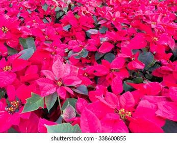 Poinsettia background