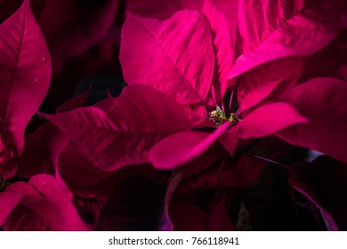 A poinsettia close up with a dark border.