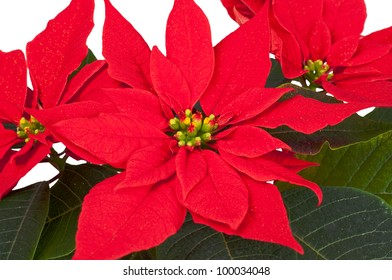 Poinsettia (euphorbia pulcherrima) isolated on white background
