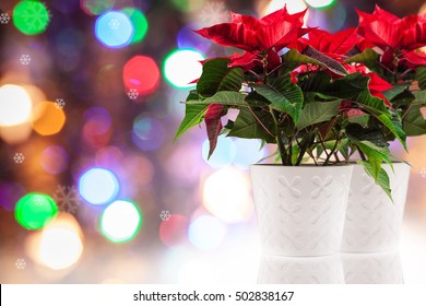 Poinsettia (euphorbia pulcherrima), knows also as Christmas star.