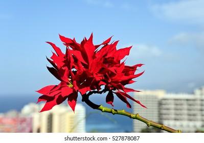 Poinsettia (Euphorbia pulcherrima) over the roofs of Puerto de la Cruz / Tenerife / Spain