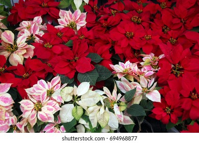 Poinsettia Flowers blooming on Christmas in red and white colors