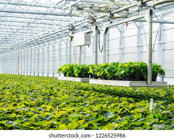 Poinsettia flowers growing in greenhouse, transported by autonomous conveyor trays