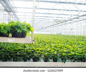 Poinsettia flowers growing in greenhouse, transported by autonomous conveyor tray
