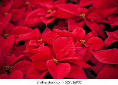 The poinsettia is indigenous to Mexico and Central America, and it is well known for its red and green foliage. It is often used in Christmas floral displays.