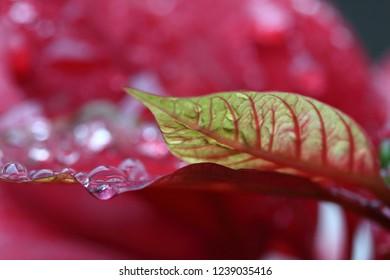 Poinsettia, also known as Christmas Star