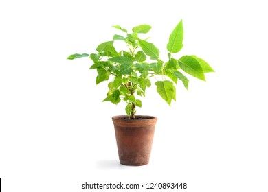 Poinsettia plant in flower pot isolated on white background