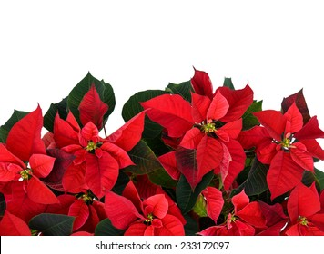 Poinsettia plant, isolated on a white background, fills the bottom half of the frame used for Christmas displays and themes.  Room for copy space.