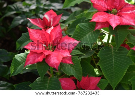 Poinsettia Plant Scientific Name Euphorbia Pulcherrima Stock Photo
