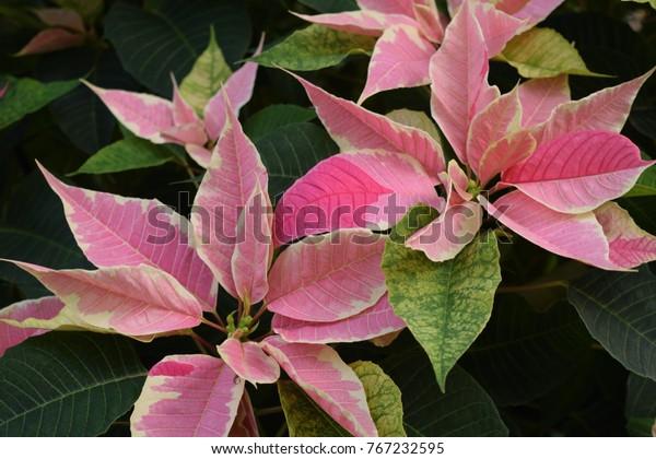 Christmas Leaf Name.Poinsettia Plant Scientific Name Euphorbia Pulcherrima Stock
