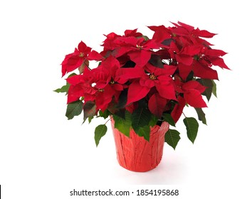 Poinsettia - red Christmas flower in a pot. Isolated on white background.