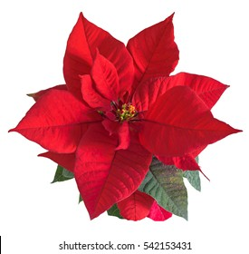 The poinsettia red flowers (Euphorbia pulcherrima), The Flower of the Christmas, close up.