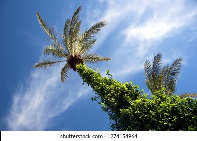 Point of view of date palms.