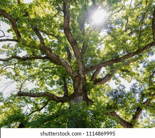 Point of view looking up into a large oak tree with a sun burst through the branches