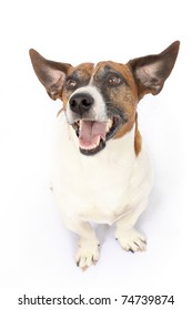 Pointed ears of Jack Russell Terrier dog