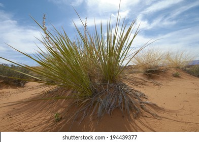 Pointed grass of the desert