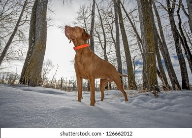 pointer hunting dog standing alert in the snow in winter setting