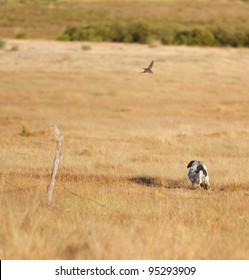 Pointer pedigree dog hunting quail