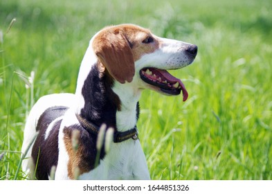 Pointer pedigree dog outdoors meadow