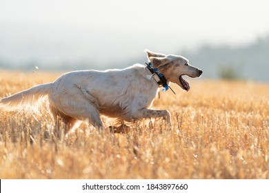 Pointer-Stammhund, der mit einer Funkantenne läuft