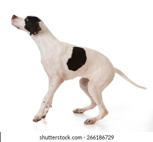 pointer puppy jumping up on white background