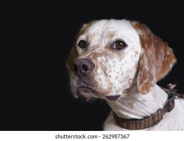 A pointer/setter dog portrait close-up in studio with black background