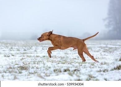 Pointing dog running outdoors. Beautiful Vizsla dog.