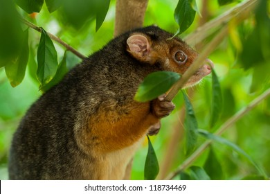 A poised suburban ringtail possum, alert in daylight tightly gripping a branch which slightly obsures his face.