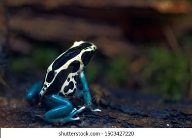 poison arrow frog, Dendrobatidae, Dyeing dart frog (Dendrobates tinctorius)