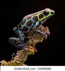 poison arrow frog from tropical Amazon Rainforest in Peru. Beautiful small animal with bright colours. Often kept as a pet animal in a rain forest terrarium. Ranitomeya variabilis