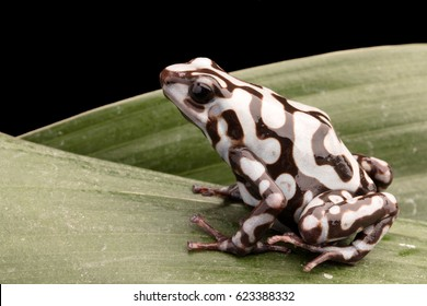 poison dart or arrow frog, Dendrobates auratus. A poisonous tropical animal from the rain forest of Panama.