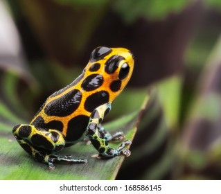 poison dart or arrow frog on leaf in Amazon rain forest. Ranitomeya imitator from Jungle in Peru. Tropical exotic pet animal. Cute amphibian kept  in a terrarium.